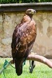 Prague castle eagle Royalty Free Stock Image