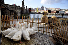 Prague castle and geese Royalty Free Stock Photography