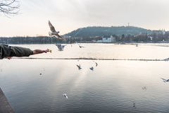 PRAGUE, CZECH - MARCH 14, 2016: People Are Feeding Seagull and Dove on Vltana River Coast in Prague, Czech. Stock Images