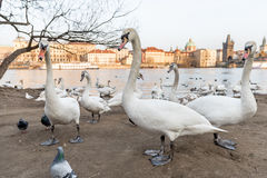 PRAGUE, CZECH - MARCH 14, 2016: People Are Feeding Swan and Dove on Vltana River Coast in Prague, Czech. Charles Karlov Bridge in Royalty Free Stock Photo