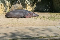2009.05.07, Prague, Czech Republic. Couple of hippos lying on the sand. stock photography