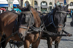 PRAGUE, CZECH REPUBLIC/EUROPE - SEPTEMBER 24 : Horses in the Old. Town Square in Prague on September 24, 2014. Unidentified people Stock Photos