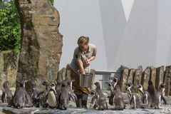 PRAGUE, CZECH REPUBLIC, MAY 2017: Woman in the prague zoo is feeding penguins.  Royalty Free Stock Photos