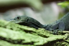 Iguana Spintail in the Prague Zoo. royalty free stock image