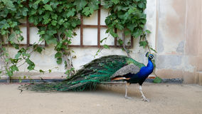 Prague, May 28, 2017. Perfect peacock in the open garden. The male peacock with bright colorful feathers stands near the. Wall royalty free stock image
