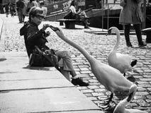Prague, République Tchèque - 17 septembre 2017 : Le cygne saisit la nourriture photos libres de droits