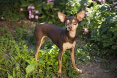 Prague ratter in the grass Stock Images