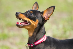 Prague Ratter(Prazsky krysarik) Royalty Free Stock Photo