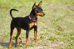 Prague Ratter(Prazsky krysarik) royalty free stock photography