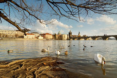 Prague riverfrontpanorama med svanar Royaltyfria Bilder