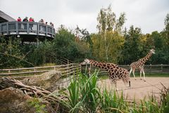Prague September 26, 2018: Folket eller gruppen av vänner eller gäster av zoo ser giraff i Prague wild afrikanska djur Arkivfoto
