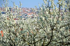 Prague in spring and cherry trees Stock Photography