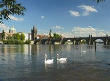 prague swans Arkivfoto