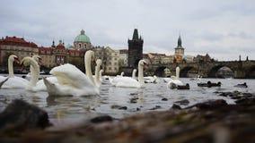 Prague Tjeckien, Charles bro 2017: Mäktig sikt av svanar och änder för Charles bro härliga vita på den Vltava floden arkivfilmer