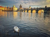 Prague. View on Karluv bridge in Prague with white swan in front view Royalty Free Stock Images