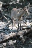 Prague Zoo - baby mountain goat Royalty Free Stock Image