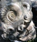 Prague zoo - forntida ammonitfossil arkivbild