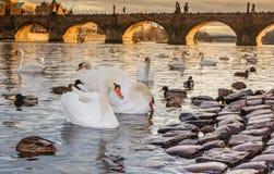Praha Karluv het meest, Charles-brugzonsondergang Praag Tsjech, zonreeks, Vltava-rivier Stock Foto's