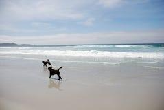 Praia & cães Fotografia de Stock