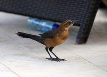 praia Barco-atada do pássaro do passerine do grackle aviária de florida sul Miami Foto de Stock Royalty Free