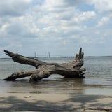 Praia bonita da madeira lançada à costa, ilha de Jekyll foto de stock royalty free