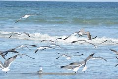 A praia calma explode como o rebanho das gaivotas que todos decolam ao mesmo tempo fotografia de stock