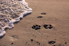Praia com pawprints do cão Foto de Stock Royalty Free