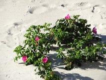 A praia cor-de-rosa Rosa cresce selvagem na praia de Massachusetts Imagens de Stock