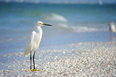 Praia da ilha de Sanibel do Egret nevado Fotografia de Stock