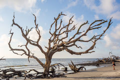 Praia da madeira lançada à costa, ilha Geórgia de Jekyll fotos de stock