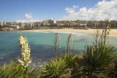 Praia de Coogee com flores da mandioca Imagem de Stock Royalty Free