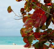 Praia de Grapeleaf Fotografia de Stock Royalty Free