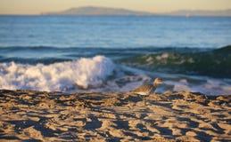 Praia do pássaro do gaiteiro da areia Fotografia de Stock Royalty Free