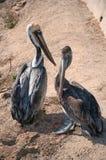 Praia do pelicano Fotos de Stock Royalty Free