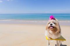 Praia e mar longos do cão do cabelo Fotos de Stock