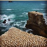 Praia Zealans novo Berds de Muriwai Imagens de Stock