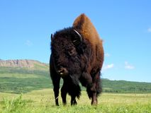 Praire Bison in Waterton Lakes National Park. Upclose view of a prairie Bison of Southern Alberta in Bison Paddock Stock Images