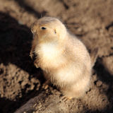 Praire Dog. Prairie dog up close stock images