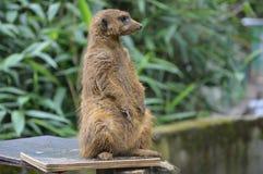 Alert modus. Prairi marmot looking around on higher grounds Royalty Free Stock Photo