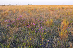 Prairie. Texas prairie at sundown with colorful wildflowers and bunchgrasses bathed in the evening light royalty free stock photography