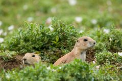 Prairie Dogs. Wild prairie dogs in a hole in Colorado Royalty Free Stock Photography