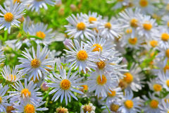 Prairie Aster ( lat. Aster amellus ). Wild plant of Siberia in the period of flowering stock images