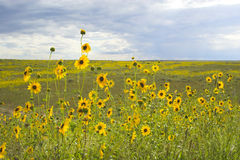 Prairie in bloom Royalty Free Stock Images