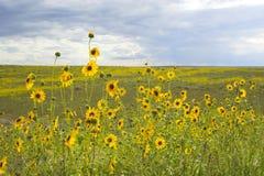 Prairie in bloom Royalty Free Stock Images