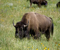Prairie Buffalo Royalty Free Stock Images
