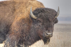 Prairie Buffalo. A profile image of an American Bison (Bison bison) grazing at the Tallgrass Prairie Preserve near Pawhuska, Oklahoma Royalty Free Stock Photos