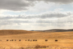 Prairie cattle. Many cattle through autumn prairie royalty free stock photography