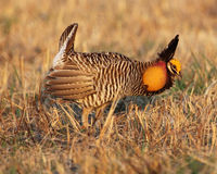 Prairie chicken Royalty Free Stock Images