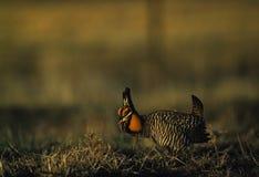 Prairie Chicken. Displays on spring lek Royalty Free Stock Images