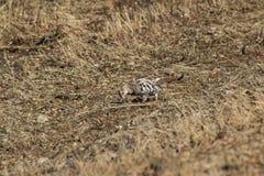 Prairie chicken Stock Photo